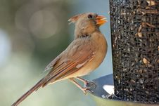 Free Female Cardinal Royalty Free Stock Image - 21130936