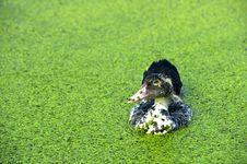 Free A Black Ducks Royalty Free Stock Photo - 21131545