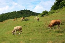 Cows On Alpine Pasture Stock Photo