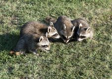 Free Family Of Raccoons Royalty Free Stock Photos - 21131618