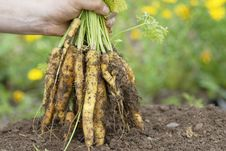 Free Holding Bunch Of Yellow Carrots. Royalty Free Stock Image - 21131966