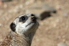 Close Up Of A Meerkat Sentry Stock Images