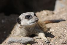 Close Up Of A Meerkat Sentry Royalty Free Stock Photos