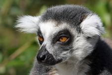 Free Closeup Of A Ring-tailed Lemeur Stock Images - 21132124