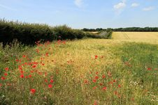 Free Poppies In A Wheat Field Royalty Free Stock Photography - 21134997