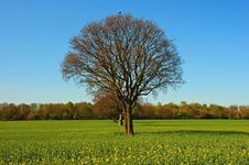 Free Trees In A Rapeseed Field Royalty Free Stock Images - 21135059