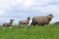 Free Sheep And Its Lambs Stock Photos - 21135433