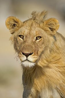 Free Close-up Portrait Of Young Male Lion Royalty Free Stock Images - 21136819