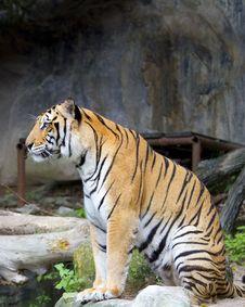 Free Tiger Stock Photos - 21138983