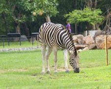 Free Zebra Royalty Free Stock Photos - 21138998