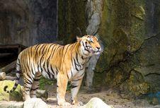 Free Tiger Royalty Free Stock Photos - 21139378