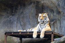 Free Tiger Royalty Free Stock Photos - 21139568