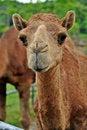 Free Arabian Camel Stock Photos - 21140843
