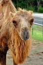 Free Bactrian Camel Stock Photography - 21140872
