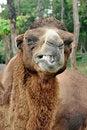 Free Bactrian Camel Royalty Free Stock Photos - 21140938