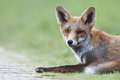 Free Red Fox Royalty Free Stock Image - 21143816