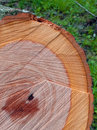 Free Freshly Cut Tree Stock Photography - 21147702