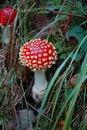 Free Fly Agaric Mushroom Stock Photo - 21147880