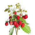 Free Fresh Wild Strawberry Royalty Free Stock Photo - 21149805