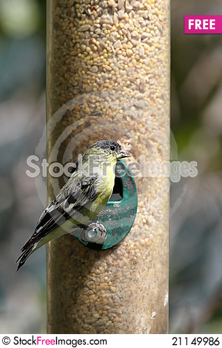 Free Finch Royalty Free Stock Image - 21149986