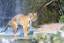 Free Tiger Stock Photo - 21140080