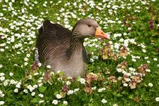 Free Goose Sitting In A Field Of Flowers Royalty Free Stock Images - 21140529