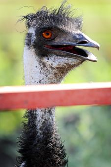 Free Cute Emu Portrait Royalty Free Stock Photography - 21140837