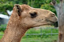 Free Arabian Camel Stock Photo - 21140840