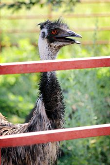 Emu Behind Fence Stock Image