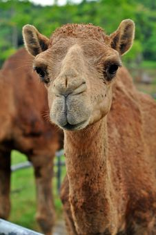 Free Arabian Camel Stock Photos - 21140843