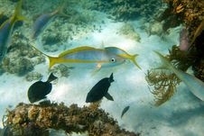 Free Yellowtail Snapper Royalty Free Stock Images - 21140849