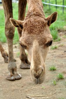 Free Arabian Camel Stock Photography - 21140902