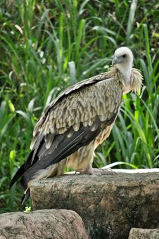 Free Himalayan Griffon Vulture Stock Photos - 21140943