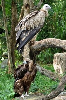 Free Himalayan Griffon Vulture And Cinereous Vulture Stock Photography - 21140962
