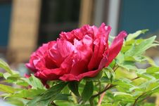 Free Peony Stock Images - 21141424