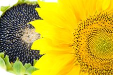 Free Sunflowers Royalty Free Stock Image - 21141626