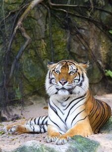 Free Tiger Royalty Free Stock Photos - 21141668