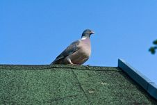 Free City Pigeon On A Roof Stock Photo - 21141940