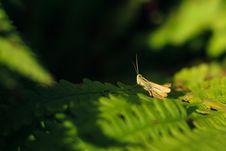 Free Grasshopper Stock Photos - 21142073