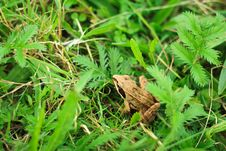 Free Frog In Grass Stock Photo - 21142100