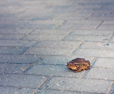 Free Toad Stock Photography - 21142132