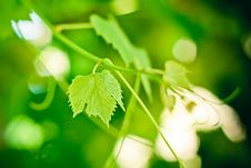 Free Grape Leaf Stock Photo - 21142140