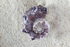 Free Conch On Sand Royalty Free Stock Images - 21143779