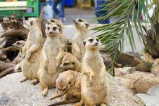 Free Meerkat Stock Images - 21143934
