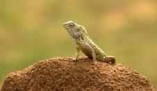 Free Sri Lankan Gecko Royalty Free Stock Image - 21143936