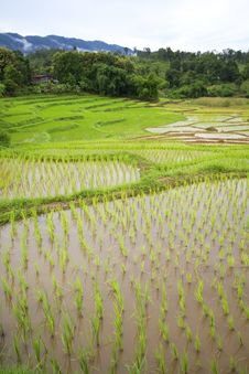Free Rice Seedlings Royalty Free Stock Images - 21144019