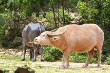 Free Thai Buffalo Royalty Free Stock Photo - 21144055