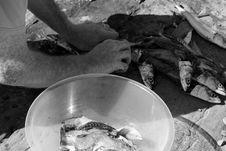 Free Fisherman Preparing Catch Of Mackerel Royalty Free Stock Photo - 21144165