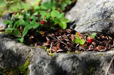 Free Wild Strawberry Royalty Free Stock Photography - 21144327