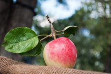 Free Fresh Apple In The Garden Stock Photography - 21144462